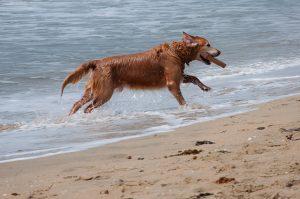 Imagem de cachorro correndo pela praia