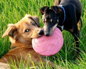 Imagem de cachorros brincando na grama