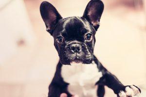 barcelona cachorro