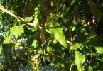 As árvores em Barcelona que mais alergia dão